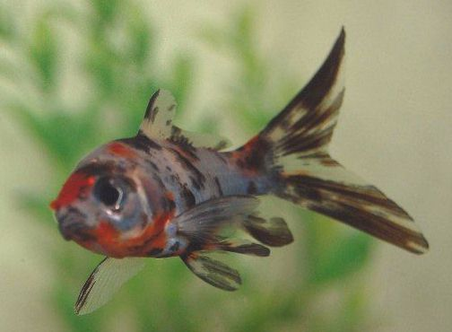 how to tell if a calico goldfish is pregnant
