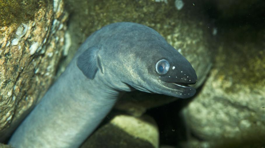 Suède : mort de la plus vieille anguille d'Europe    à l'âge