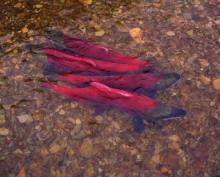 Salmons - Oncorhynchus nerka (Kamchatka, Russia)