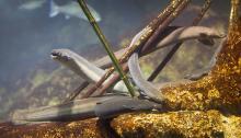 Anguille (Anguilla anguilla)