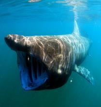 Requin pèlerin (Cetorhinus maximus) - Greg Skomal / NOAA Fisheries Service