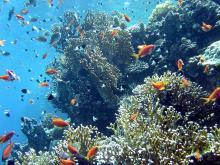 Récif corail mer rouge