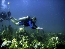 Un biologiste examine un récif de corails au large des Îles Vierges (2005)  Photo :  CAROLINE ROGERS