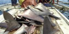 Decoupe d'ailerons de requins