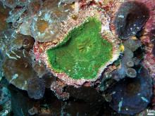 Echinophyllia tarae