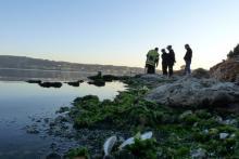 Allaches mortes dans l'étang de Berre
