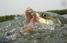 Les poissons-tigres africains Hydrocynus vittatus peuvent atteindre 1 m de long (pour les mâles), et peser jusqu'à 28 kg