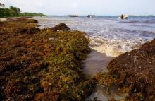 Invasion d'algues brunes en Guadeloupe