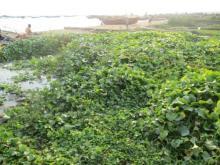 Jacinthes d'eau sur les bord du Tanganyika