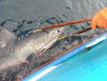Marquage d'un requin taupe par l'IFREMER