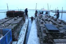 Comme le captage 2012, celui de 2013 devrait être un très bon cru dans le bassin d'Arcachon. (photo Loïc Fabrègues)