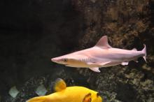 Jeune requin gris né à l'Océarium du Croisic
