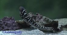 Vidéo éclosion d'oeufs de requins zèbres (crédit : Océanopolis Brest)