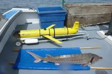 Le glider Otis attend sur le ponton du bateau d'être mis à l'eau, tandis qu'un esturgeon est en train d'être balisé. © Université du Delaware