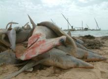 Pêche de Requins marteaux à Palau