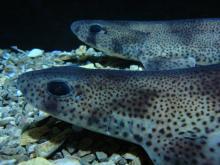 Petite roussette (Scyliorhinus canicula) née dans les aquariums de Mareis