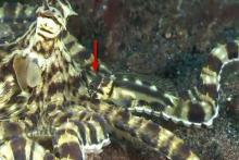 Stalix histrio caché à côté d'une pieuvre imitatrice