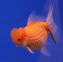 Le poisson rouge est originaire des eaux douces de Chine. Aujourd'hui il est le principal poisson de compagnie et une étonnante variété de poissons rouges a vu le jour, au gré des croisements génétiques et des sélections, comme ici le poisson rouge perlé. © Lerdsuwa