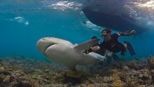 Eric Clua en train de réoxygéner un bouledogue de 3 mètres en Nouvelle-Calédonie, suite à un marquage - © Thomas Vignaud