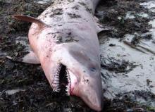 Requin féroce Odontaspis ferox échoué sur une plage de Pénestin, commune du Morbihan. Crédit : E. Stephan