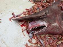 Requin-lutin pêché par Carl Moore et ses coequipiers