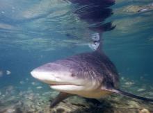 Le requin-bouledogue vit dans toutes les mers tropicales, à proximité des côtes, et jusqu'à 155 mètres de profondeur. Cette espèce est jugée agressive et aussi dangereuse que le grand requin blanc pour l'Homme. © Albert Kok