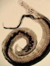 Couple de schistosomes
