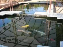 Bassin de carpes koïs