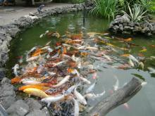 Bassin de carpes kois