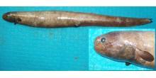 Simenchelys parasitica