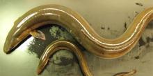 Différences morphologiques entre les deux écotypes d'anguilles américaines (celles qui ont grandi en eau douce et celles qui ont grandi en milieu côtier. Photo: Guy Verreault