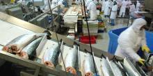 Atelier de tranformation de saumons