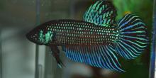Betta mahachaiensis (poisson combattant)