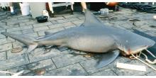 Capture Carcharhinus leucas