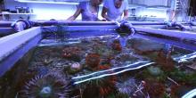 Des coraux cultivés dans les bassins de la ferme Coral Biome à Marseille (AFP - Anne-Christine Poujoulat)