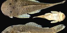 Cordylancistrus santarosensis