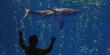 Grand requin blanc (Carcharodon carcharias) au Monterey Bay Aquarium