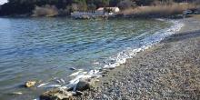 Hécatombre de muges à l'étang de l'Olivier (Istres)