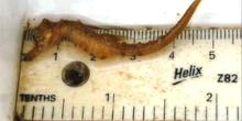 Hippocampus hippocampus juvénile