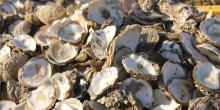 Le bassin d'Arcachon semble particulièrement touché par les mortalités sur les huîtres adultes