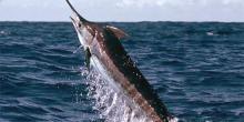 Marlin bleu (Makaira nigricans)