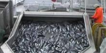 Pêche des maquereaux en Islande