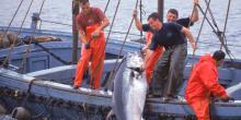 Pêche Thon rouge en Méditerranée