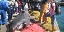 Requin pèlerin pêché illégalement en Grèce
