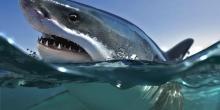 Requin Mako Tahiti - Photographe Stéphane Urbinati
