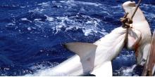 Pêche de Requins marteaux au Japon