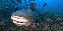 Requin bouledogue - Ile de la Réunion