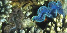Mesurant jusqu'à 1,5 mètre pour un poids de 250 kg, le tridacne géant ou bénitier géant (Tridacna gigas) est le plus gros mollusque bivalve du monde © Christoph Specjalski, Wikimedia Commons, cc by sa 3.0